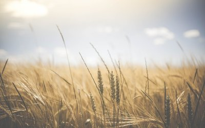 What Are The Symptoms of a Wheat Allergy?