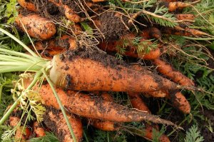 carrots freshly picked after growinging them in your own garden