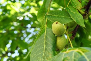 walnut branch - growing your own walnuts at home